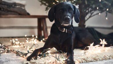 Photo de Les arbres de Noël sont-ils toxiques pour les chats et les chiens ?