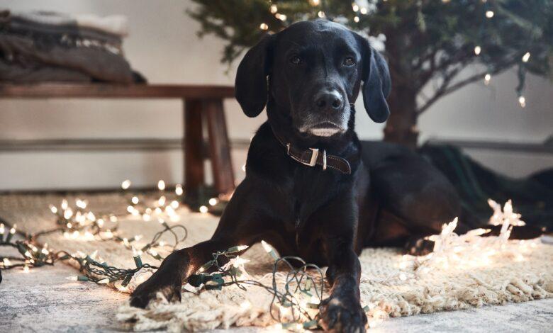 Les arbres de Noël sont-ils toxiques pour les chats et les chiens ?