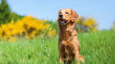 Les carottes sont-elles sans danger pour les chiens ?