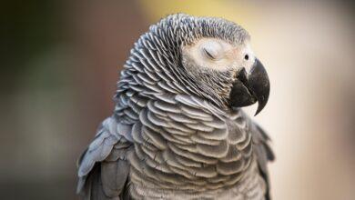 Photo de Les craintes nocturnes chez les oiseaux de compagnie