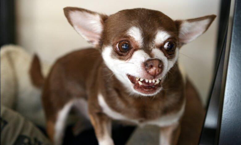 Les dents des chiens : agressivité ou sourire ?