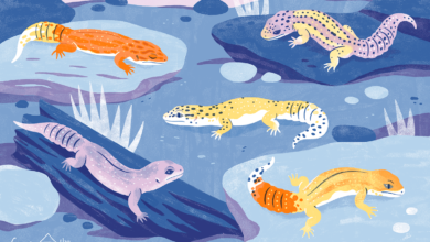 Les différentes couleurs des geckos léopards