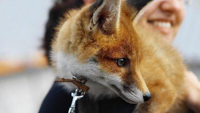 Les espèces de renards qui peuvent être des animaux de compagnie