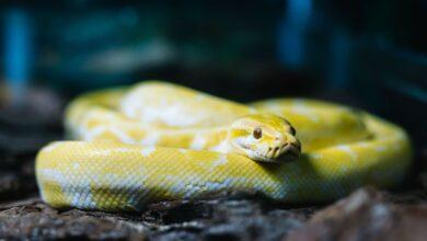 Photo de Les espèces de serpents communément conservées comme animaux de compagnie
