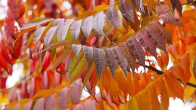 Les essentiels du sumac pour le feuillage d'automne