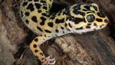 Les geckos comme animaux de compagnie - Guide de soins et introduction