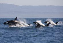 Les jeunes orques mangent mieux et vivent plus longtemps quand grand-mère est là