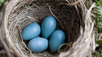 Les œufs sont-ils nutritifs pour mon oiseau domestique ?