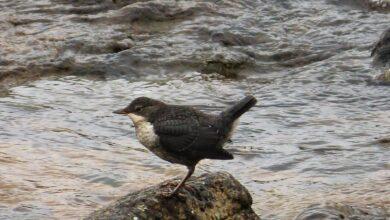 Les oiseaux de rivière ingèrent jusqu'à 200 morceaux de microplastique par jour