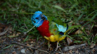 Les perruches à poitrine rouge comme animaux de compagnie - Profil complet, histoire et soins