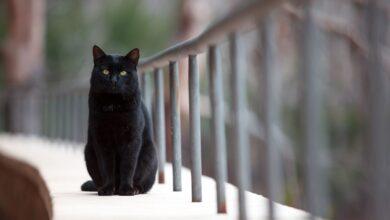 Photo de Les principaux noms de chats noirs