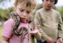 Les pythons de la balle font-ils de bons animaux de compagnie ?