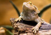 Les reptiles ont-ils besoin de gardiens d'animaux ?