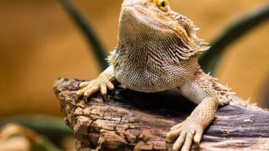 Photo de Les reptiles ont-ils besoin de gardiens d'animaux ?