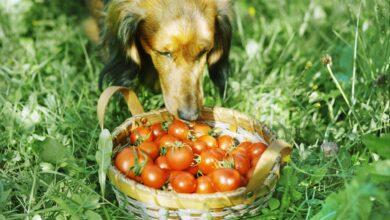 Les tomates sont-elles sans danger pour les chiens ?