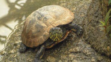 Photo de Les tortues et les tortues terrestres attrapent le rhume ?