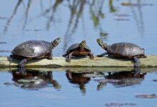 Les tortues peintes comme animaux de compagnie - Soin des tortues aquatiques