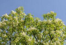 Lilas japonais : Guide de soins et de culture
