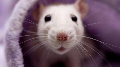 L'intelligence des rats - Pour que votre rat intelligent soit heureux
