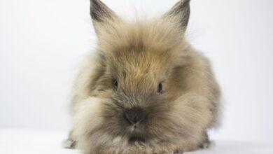 L'obésité chez les lapins : Symptômes, causes, problèmes