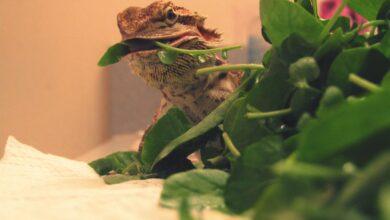 Nourrir les dragons barbus Légumes verts à feuilles