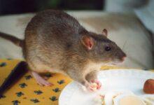 Nourrir les rats de compagnie