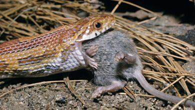 Nourrir les serpents Souris congelées et autres proies