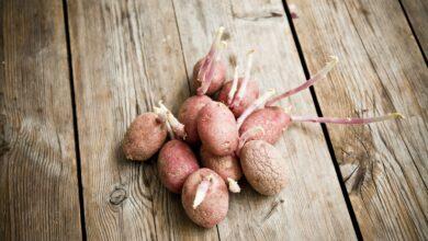 Peut-on manger sans danger une pomme de terre germée ?