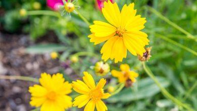 Plante de Coreopsis : Guide de soins et de culture