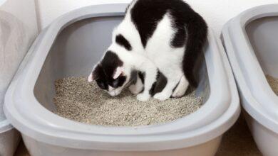 Pourquoi les chats mangent des déchets et comment les arrêter