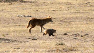 Pourquoi les coyotes et les blaireaux chassent ensemble
