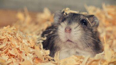 Pourquoi les hamsters mangent-ils parfois leurs bébés ?