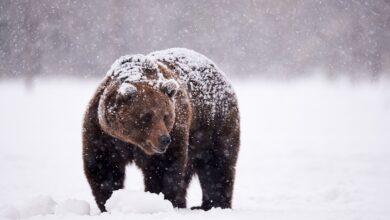 Pourquoi les muscles des ours ne se détériorent-ils pas pendant l'hibernation ?