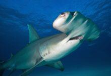 Pourquoi les requins marteaux ont des têtes aussi drôles