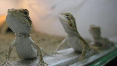 Prendre soin de votre dragon barbu après la ponte