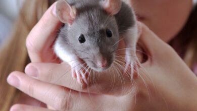 Problèmes avec les dents de rat