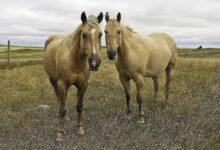 Profil de la race du Quarter Horse américain
