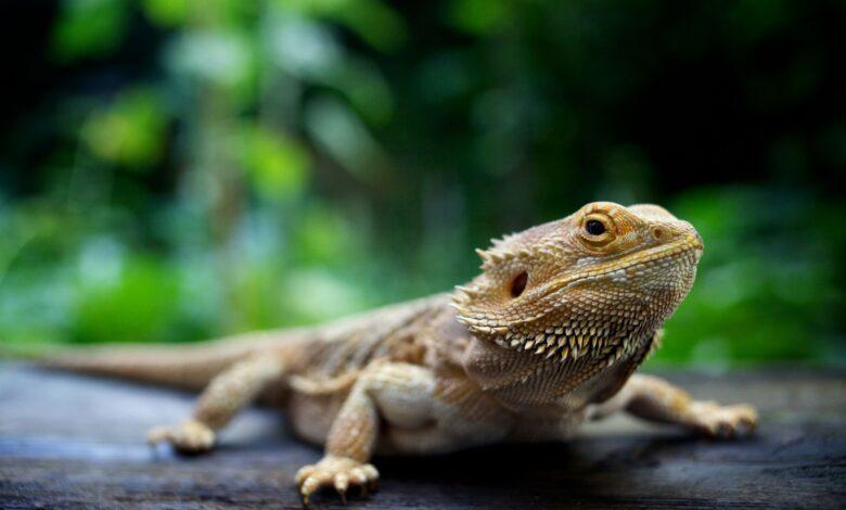 Prolapsus du dragon barbu - Causes et solutions