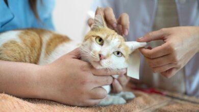 Que comprendre des troubles neurologiques chez les chats