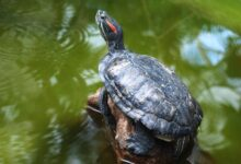 Que dois-je donner à manger à ma tortue à oreilles rouges ?