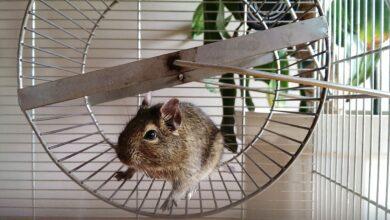 Que faire lorsque votre hamster éternue