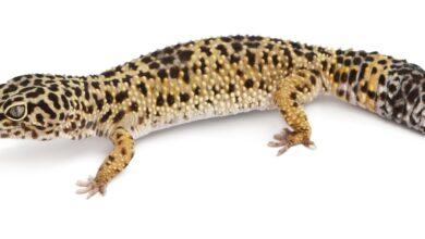 Que faire si votre gecko léopard a des bulles sous les aisselles
