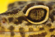Que faire si votre gecko léopard a des problèmes oculaires