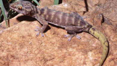 Que faire si votre gecko perd sa queue