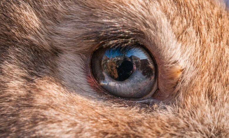 Que faire si votre lapin a des problèmes oculaires