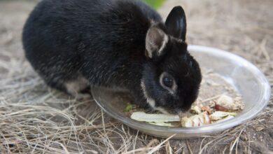 Que faire si votre lapin de compagnie arrête de manger