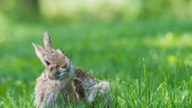 Que faire si votre lapin vous démange et vous gratte