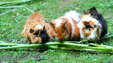 Que mangent les cochons d'Inde ?