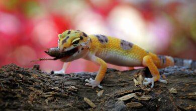Photo de Que mangent les geckos ?