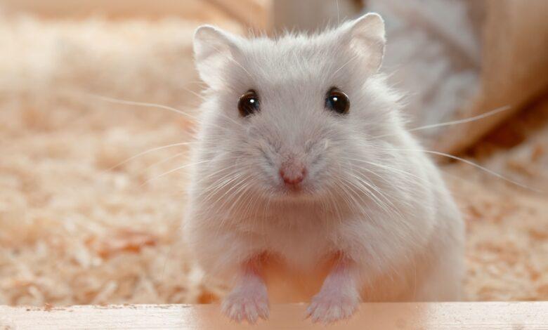 Qu'est-ce que la queue humide chez le hamster ?